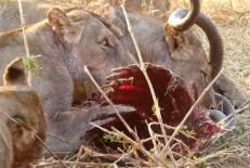 Remains of a killed kudu