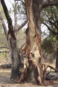 Tree bark - elephant's work