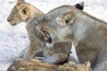 Hungry lioness up close - another close encounter