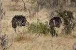 Austriches