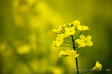 flower, kwiat, nature, #nature, natura, #natura, rape, #rape, rzepak, #rzepak, krajobraz, #krajobraz, landscape, #landscape, Dolina Baryczy, #DolinaBaryczy, Polska, #Polska, Poland, #Poland, wiosna, #wiosna, #spring, #spring,