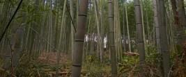 Forêt de bambous d'Arashiyama, en périphérie de Kyoto.