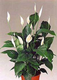 Коричневые пятна на листьях спатифиллума: почему они появились и как вылечить цветок?