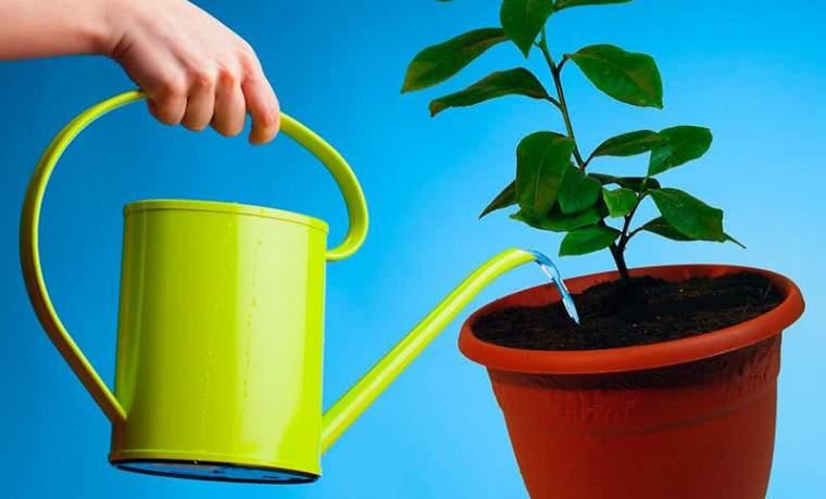 Авокадо - как поливать и ухаживать в домашних условиях?