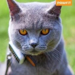 Un chat portant un collier gps pawfit-S