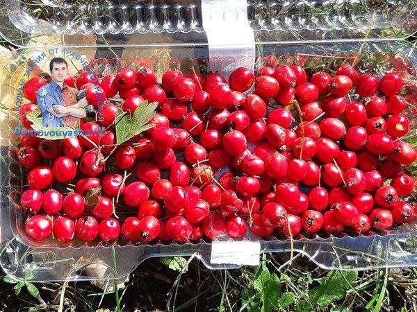 Чем полезны и как собирать ягоды боярышника