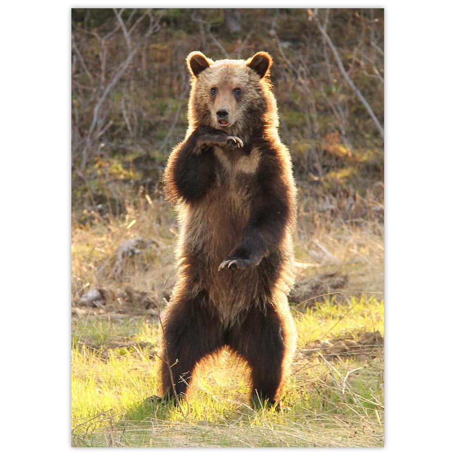 Grizzly Bear Cub Dōnabōna Cards