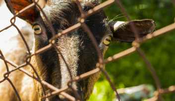 close up photo of brown goat beside grey cyclone wire