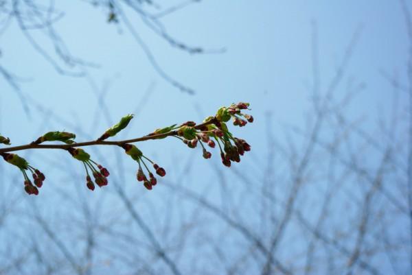 大野川沿い桜並木