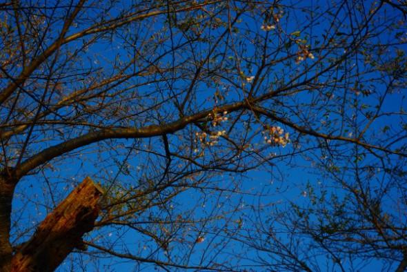 戸切地陣屋跡桜並木アップ
