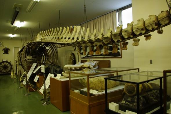 水産資料館・ニタリクジラ