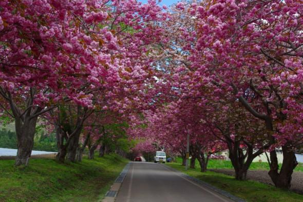石崎地主海神社の桜並木