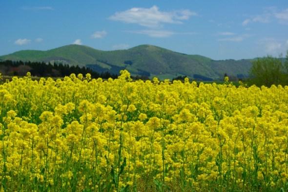 あいす118の見事な菜の花畑