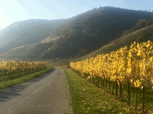 Gerade in der Wachau sind für den Weinbau die Urgesteins Verwitterungsböden von wesentlicher Bedeutung. Die Rebwurzeln können bei der geringen Bodenauflage in den Terrassenweingärten in den Gneisfels eindringen. Eine besondere, weltbekannte Rebsorte ist der Riesling Als König der Weißweine wird der Riesling bezeichnet.