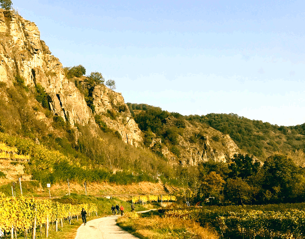 Tipiški vynuogynai prie Dunojaus, sukurti prieš šimtmečius, ir ten klestintys puikūs vaisiniai Rieslings ir Grüner Veltliner daro Wachau pasaulio paveldo sąrašą vienu svarbiausių Austrijos vynuogių auginimo regionų.