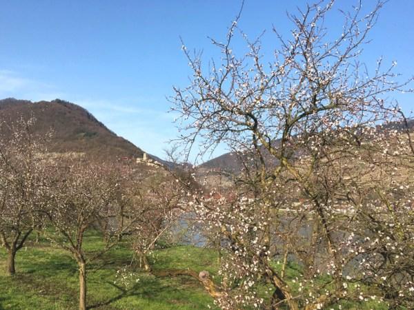 De abrikozenbloesem in de Wachau in april 2019