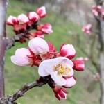 Aprikosen Blüte in Niederösterreich