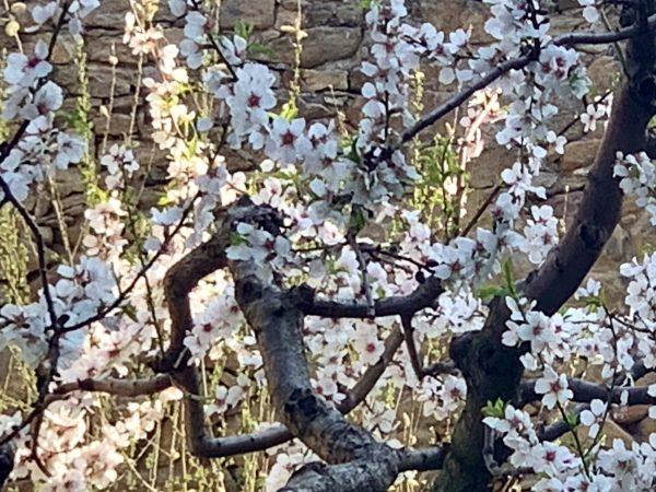 Flowering apricot tree in Weißenkirchen in the Wachau