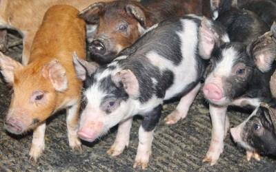 In praise of porcine pleasures