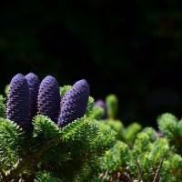 🌲¿Dónde se halla el polen y óvulos en las coníferas? 🍁
