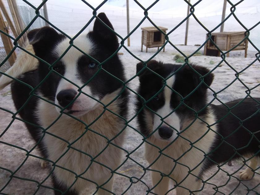 huskies (1)