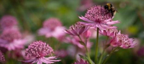 bee on astrantia - image by Deb Fletcher