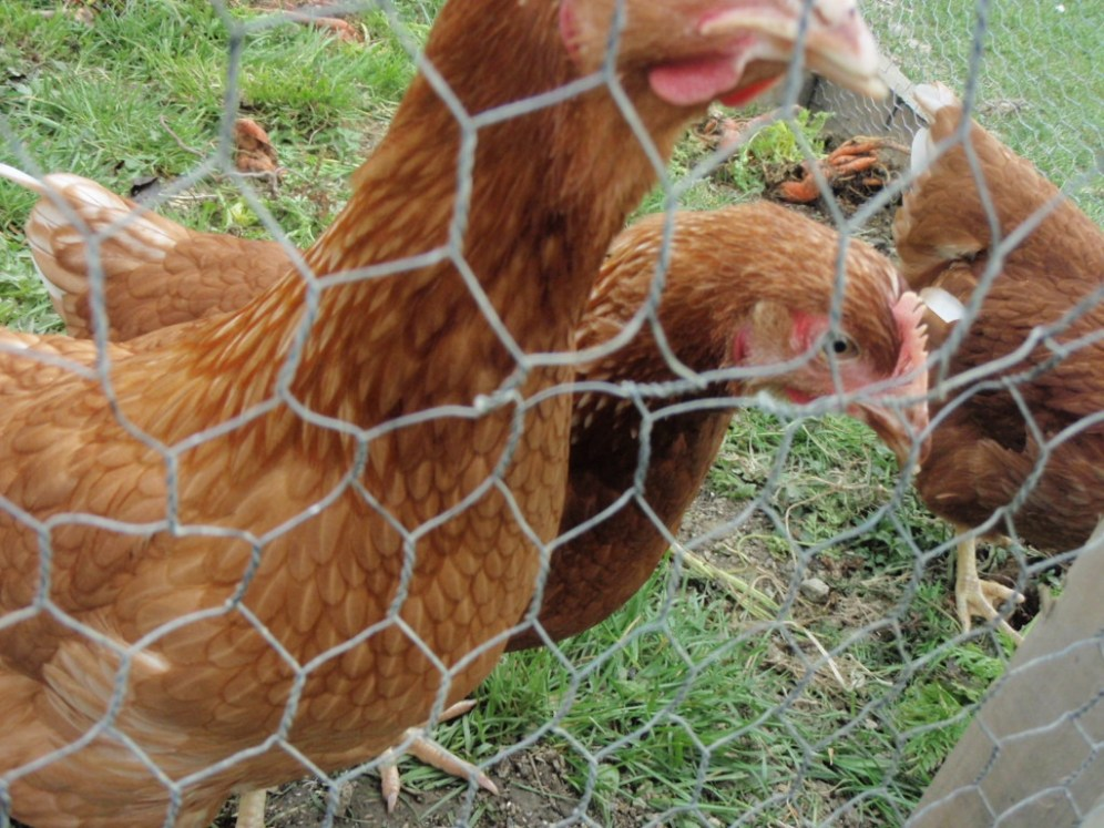 hens outdoors ireland