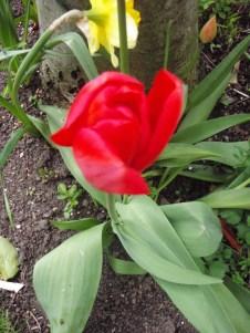 garden bulbs tulips flower