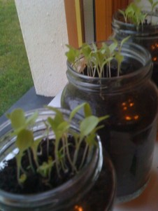 lettuce-seeds-in-jam-jars