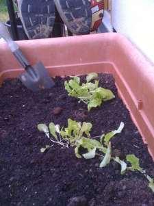 lettuce-seedlings-transplanted
