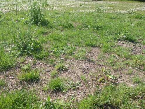 lawns-ireland-growing