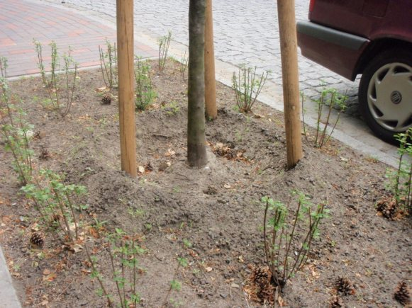 tripple staking street trees