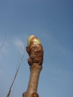 horse-chestnut-bud-1
