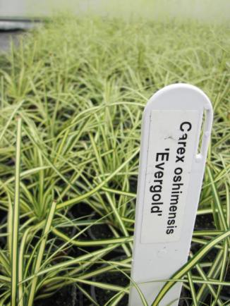 carex-oshimensis-evergold-2