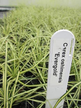 carex-oshimensis-evergold-2