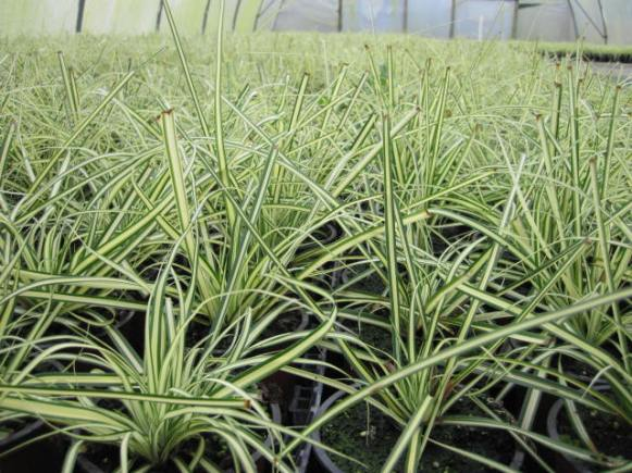 carex-oshimensis-evergold-3