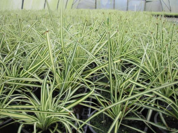 carex-oshimensis-evergold-3