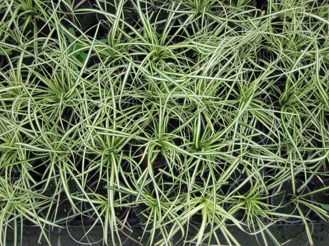 carex-oshimensis-evergold-4