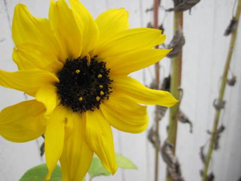 helianthus-sunflower-5
