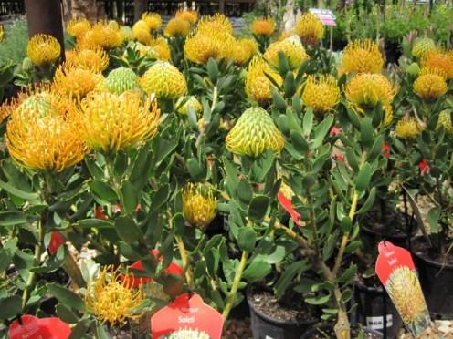 leucospermum-cordifolium-x-glabrum-5