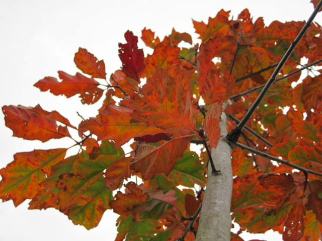 native-irish-tree-oak-quercus
