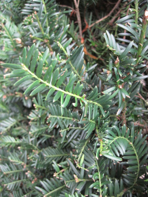 native-irish-trees-yew-taxus-baccata