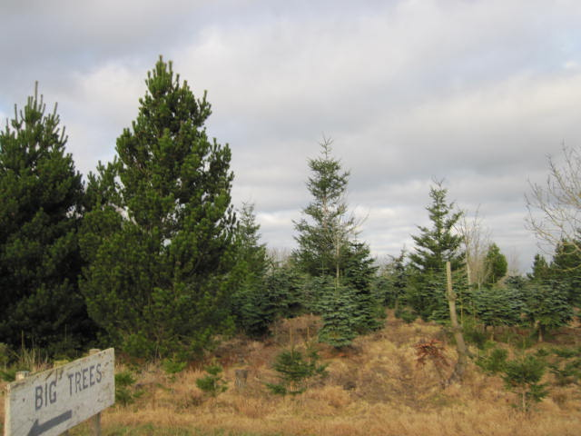 christmas-tree-farm-1