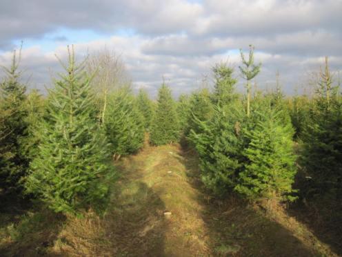 christmas-tree-farm-10