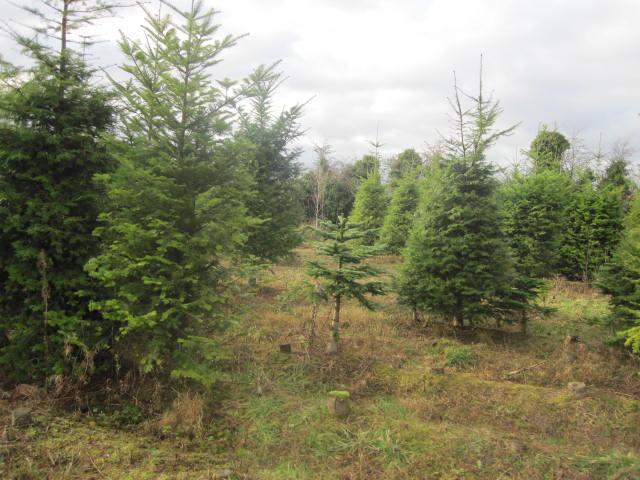 christmas-tree-farm-6