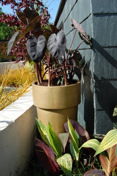 Colocasia Hawaiian Collection