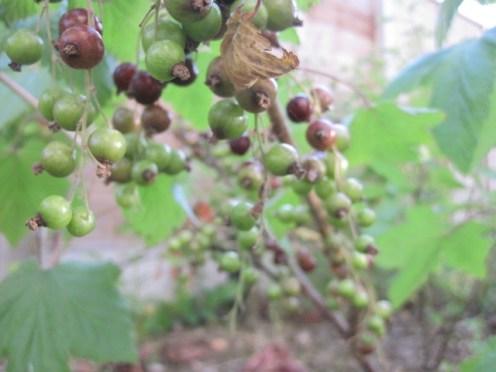 fruit trees 002