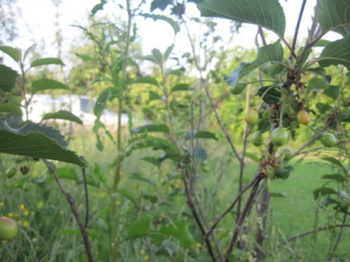 fruit trees 004