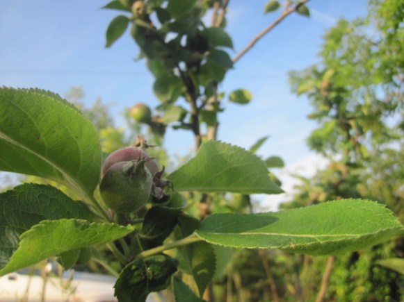 fruit trees 008
