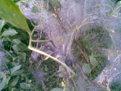 webber moth (2)